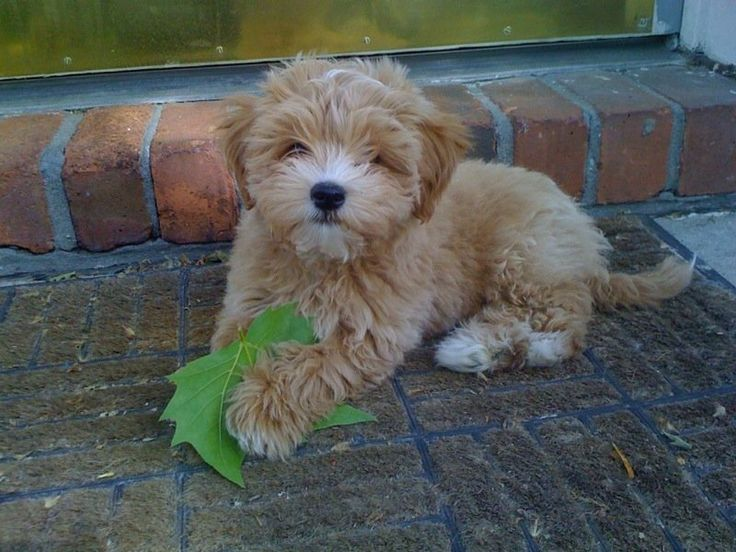 #maltipoo #dogs #cute Leaf inserted to enhance perspective! So cute!