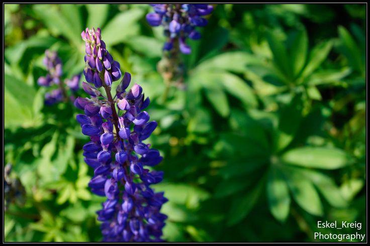 Violet flower lupin