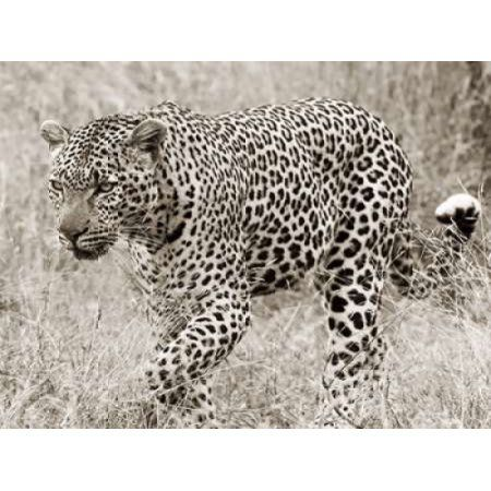 Leopard hunting Canvas Art - Anonymous (22 x 28)