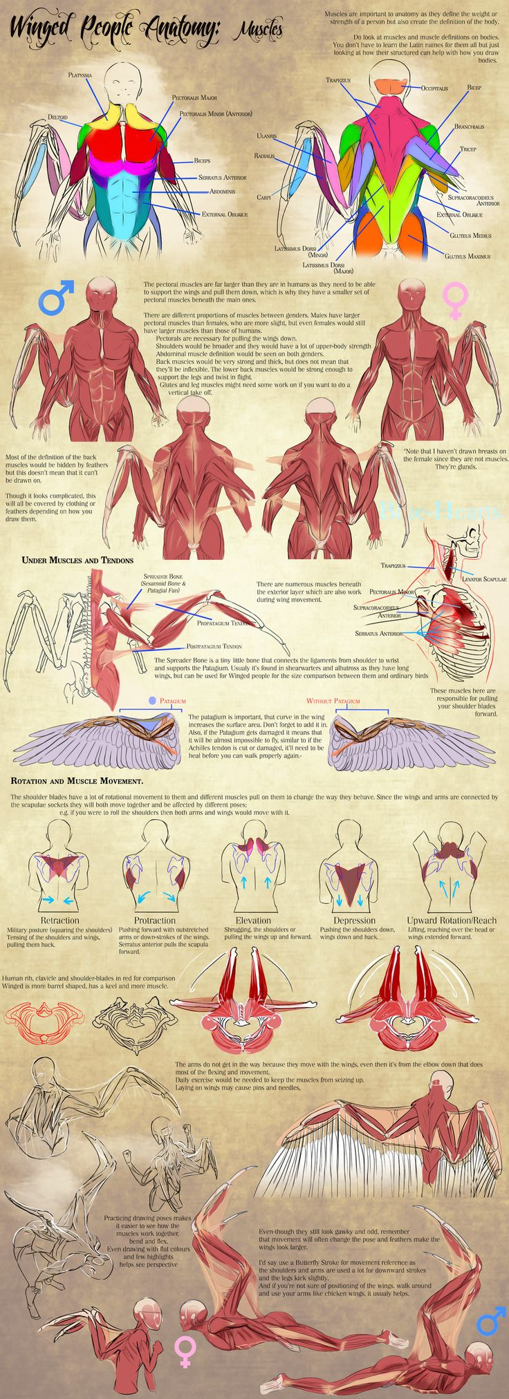 Winged People Anatomy: Muscles by Blue-Hearts.deviantart.com on @DeviantArt