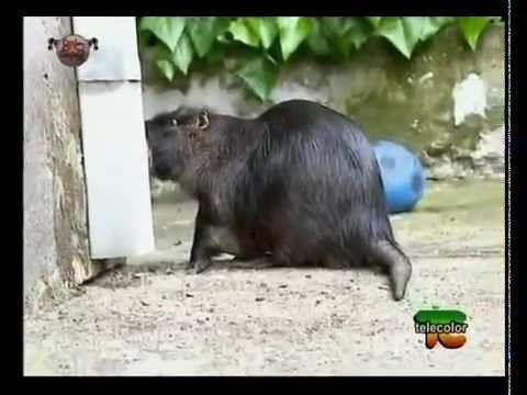 willy la nutria! un animale domestico eccezionale   #animals