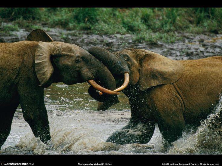 opprinnelige bakgrunnsbilde - Ville dyr: http://wallpapic-no.com/national-geographic-bilder/ville-dyr/wallpaper-37895