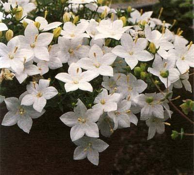 колокольчики, многолетники,как правильно вырастить сохранить цветы