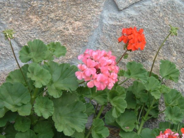 Geranium #houseplants can be propagated by stem tip cuttings now that it's spring & then moved outside. http://www.houseplant411.com/houseplant/geranium-plant