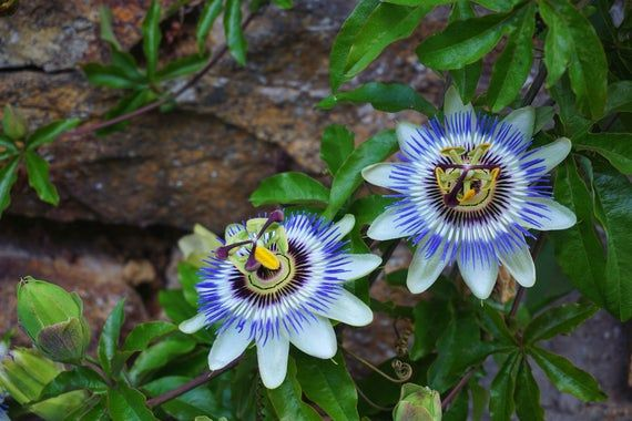 Passionflower Herbal Tincture Premium Extract Calming Etsy In 2020 Passion Flower Herbal Tinctures Types Of Blue Flowers