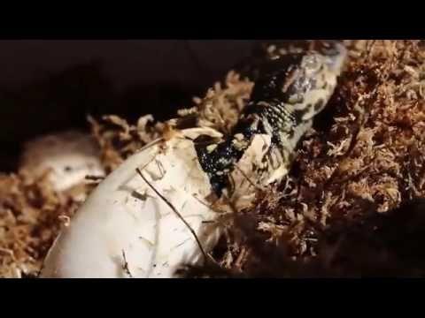 Proses Menetasnya Buaya Dari Telur