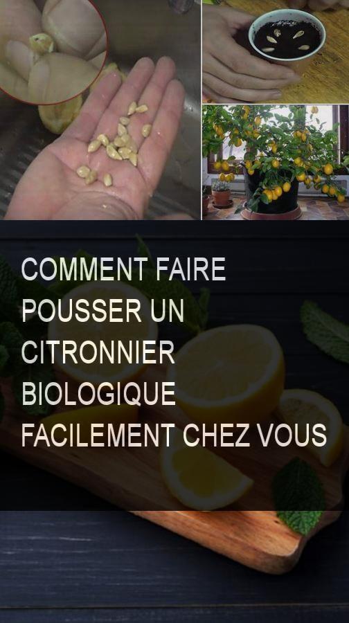 Remark faire pousser un citronnier biologique facilement chez vous