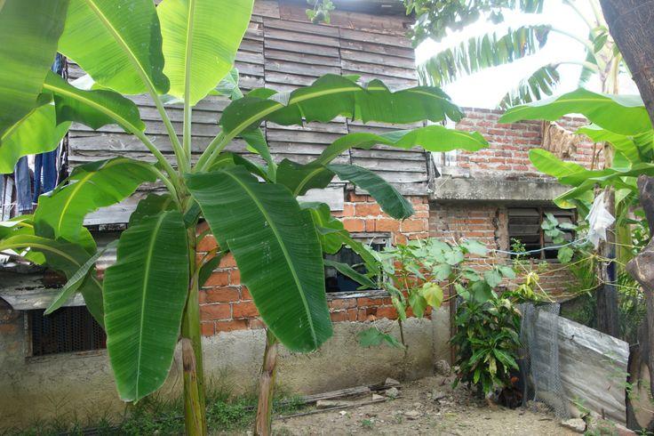 Tuin waarin momenteel kleine 20 bananenbomen en 3 fruitbomen in staan. Ps. Bij de nieuwbouw wordt de tuin kleiner ten gunste van het huis die wat meer ruimte krijgt in onze plannen.