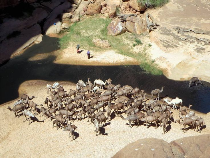 Huge herds of camels drink from the permanent water source at Guelta d'Archei in the Ennedi Mountains of northeastern Chad, Central Africa.