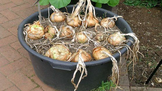 Onions growing in a container