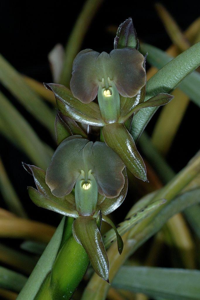 Green flowers of Epidendrum coriifolium
