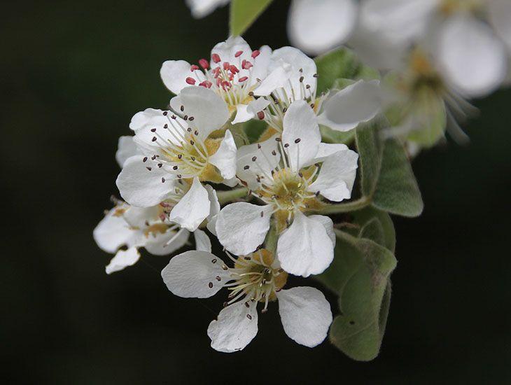 fleurs arbre fruitier