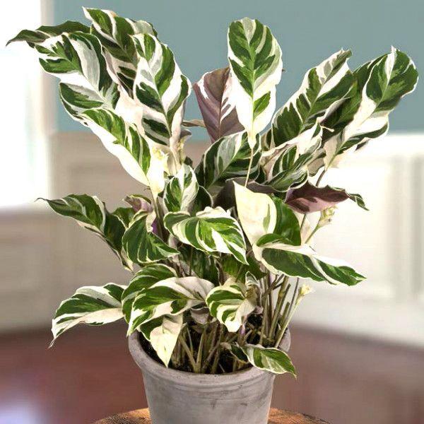 24 Belles Plantes Qui Poussent Meme A L Ombre Calathea Plante