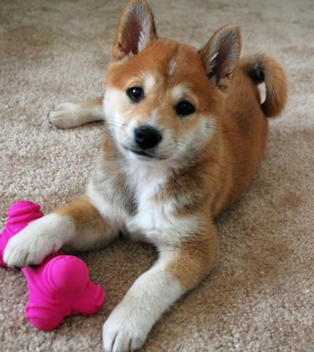 Shiba Inu... adorable!!! I have one and he is oh so sweet