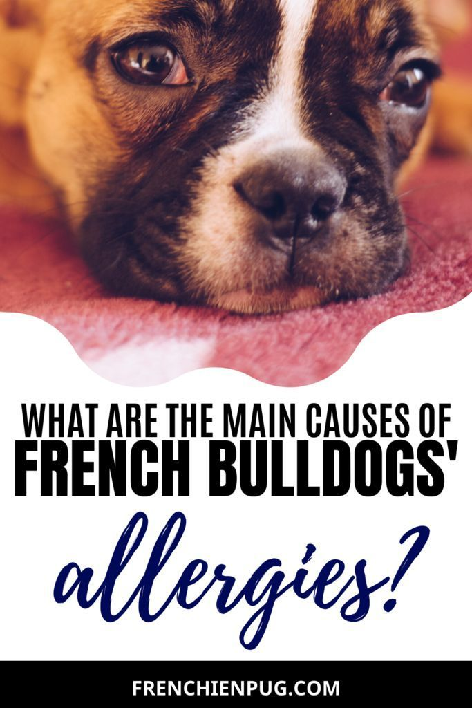 What Are The Main Causes Of French Bulldogs Allergies French