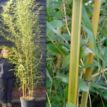 Bamboo Trees and Hedge (Phyllostachys)