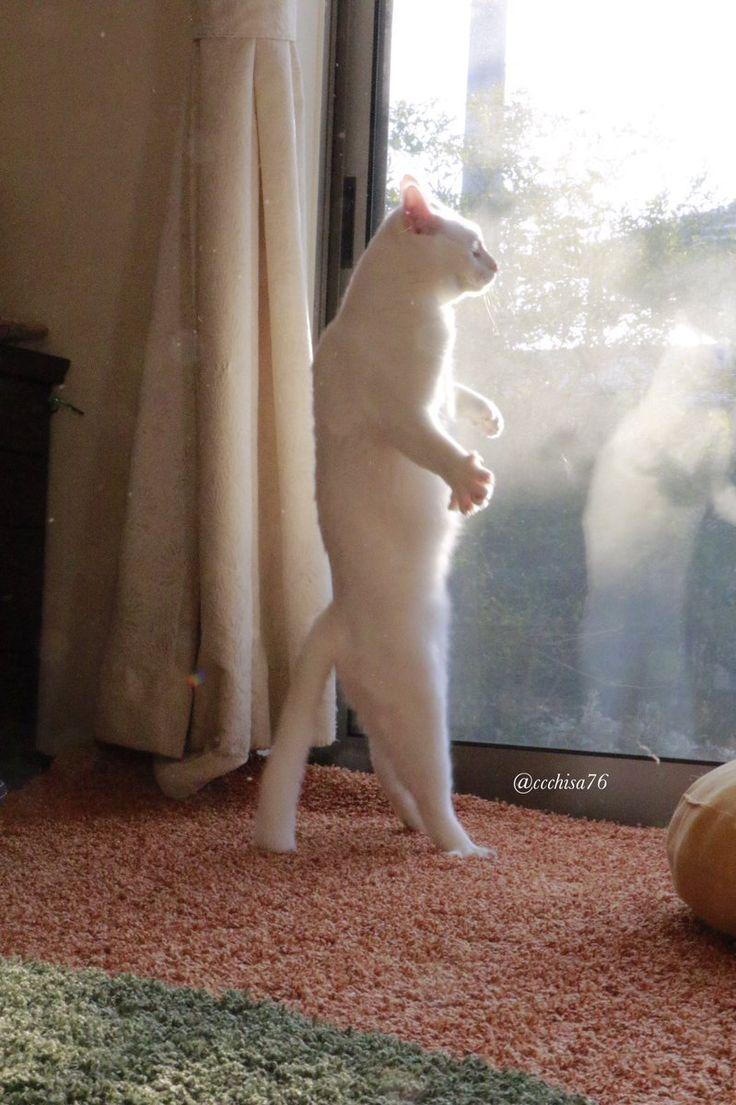 瀬戸にゃん ちさ@無重力猫、ミルコのお家(@ccchisa76)さん | Twitter