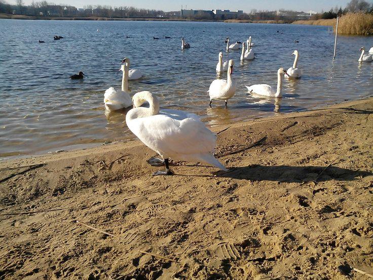 Łabędzie na plaży -  http://ujeciarozne.blogspot.com