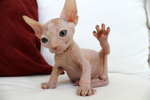 Hairless cat fits in my monster category...okay this one is cute but it doesn't change the fact that they have a link with the supernatural.