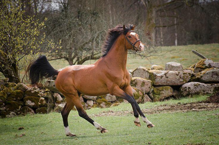 Hingst. Galopp. Svenskt halvblod. Hector. Stallion. Canter. Swedish photographer Maria Lindberg.