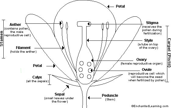 Google Image Result for http://www.enchantedlearning.com/subjects/plants/gifs/Floweranatomy_bw.GIF