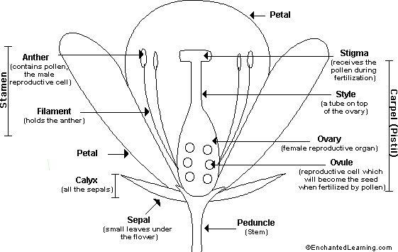 Google Image Result for http://www.enchantedlearning.com/subjects/plants/gifs/Floweranatomy_bw.GIF