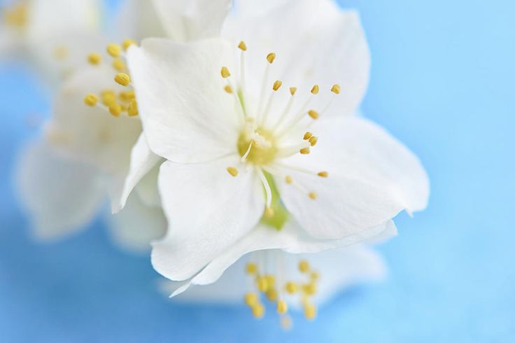 White Flowers On Blue Photograph by Marfffa Art