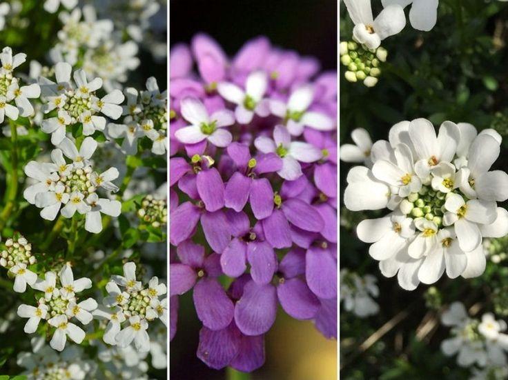 Az érdekes módon a káposztafélék családjába tartozó örökzöld tatárvirág (Iberis sempervirens) őshazája Dél-Európa.