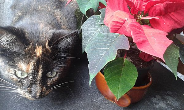 Weihnachtssterne sind für Katzen wie für andere Tiere höchst giftig - sie können zu Magen-Darmbeschwerden mit blutigem Durchfall, Lähmungen und bei kleineren Tieren sogar zum Tod führen.