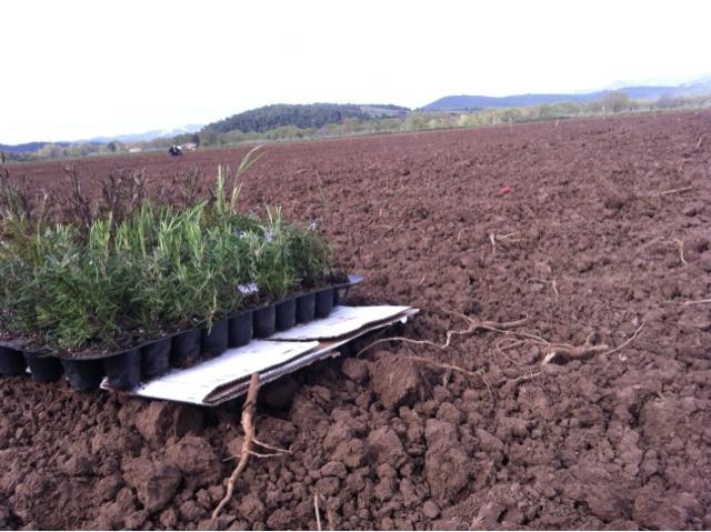 Rosemary Farming