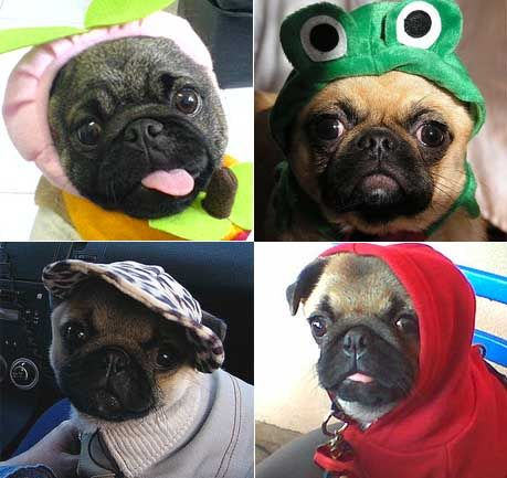 home funny pug pictures
