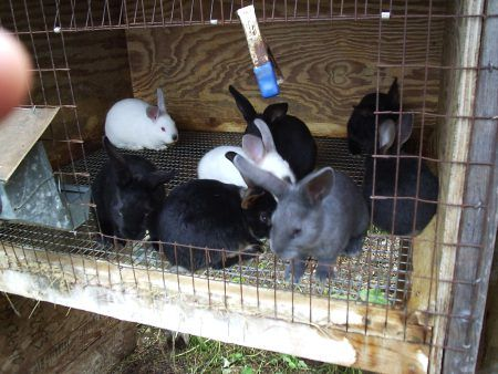 WHAT BREED OF RABBIT TO RAISE FOR MEAT?