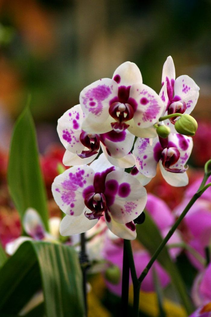 25 best ideas about dessin orchid e on pinterest - Faire refleurir une orchidee phalaenopsis ...