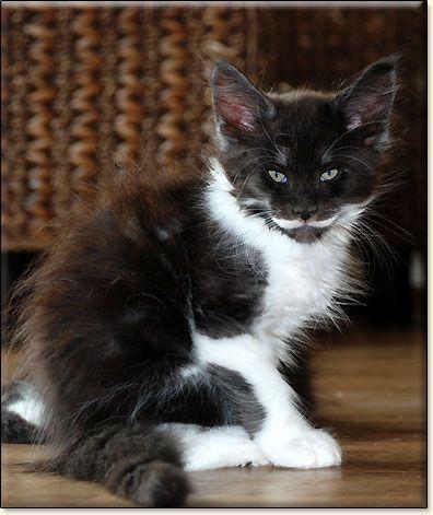 #MaineCoon #Bicolour #Cats IMMANUEL VILLA PARK*PL