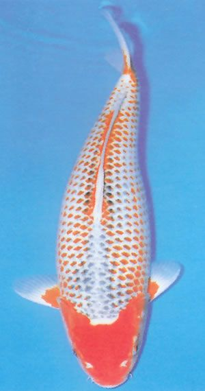 322 best koi and goldfish images on pinterest backyard for Rare koi fish