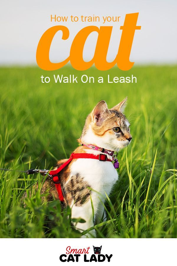 How To Train Your Cat To Walk On A Leash Cat Leash Cat Care Tips Cat Training