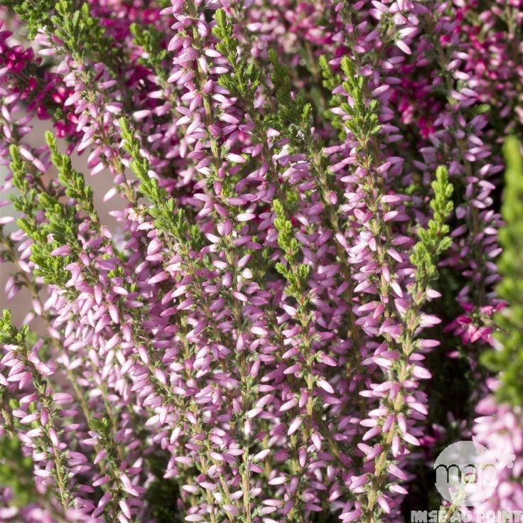 Calluna vulgaris 'Rosita':conteneur 2 litres