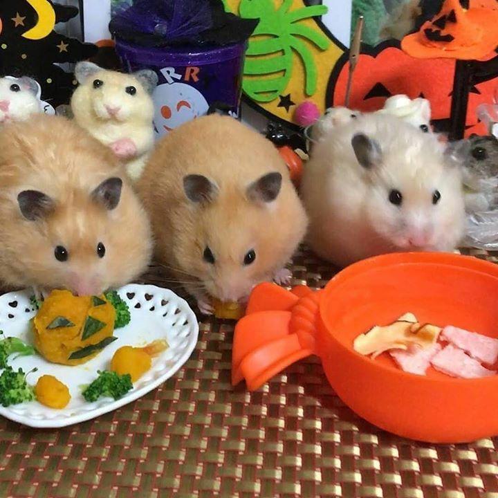 #Repost @hamumama48 3人揃って #シリアンハムスター #hamstergram #hamster #はむすたぐらむ #ゴルハム #ハムスター #ゴルハム #ゴールデンハムスター #ゴルハム親子