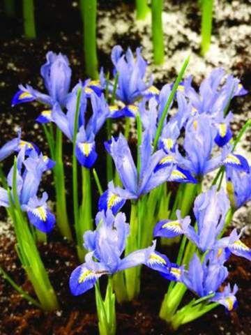 Iris Dwarf- reticulata Carolina