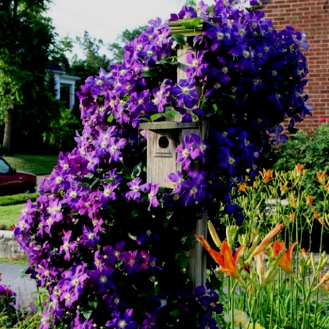 The  Jackmanni clematis was massive as it wound around a birdhouse. I always give each clematis a cup of Epson salts in early spring to get them growing.
