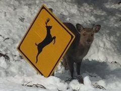 鹿注意の道路標識の後ろに隠れている鹿が今にも飛び出す気まんまんだとTwitterで話題に こちらの様子をカメラ目線でじっとうかがっているね(笑) その表情は これから飛び出すから注意してね なんて訴えかけているみたい 兵庫県と鳥取県の境目に位置する氷ノ山のスキー場で撮影されたんだって それにしても鳥取県の雪ってすごいんだね(@_@)