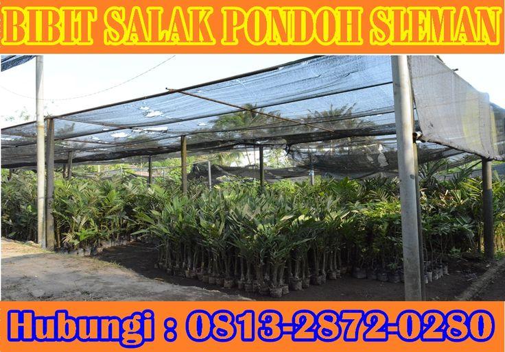Kebun Bibit Salak Pondoh Sleman Madu, Menerima Pesanan Di Seleruh Indonesia Dan luar negeri. Pemesanan HUB : 0813_2872_0280 (Bpk. Subambang) Aktif 24 jam nonstop.