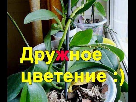Что стимулирует цветение орхидеи фаленопсис? - YouTube