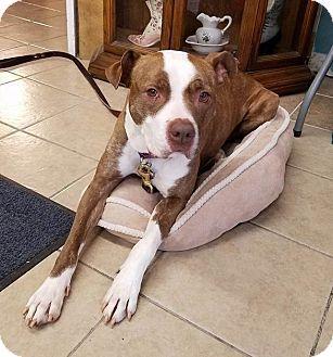 Dundee, MI - Boxer/Pit Bull Terrier Mix. Meet Kamalli a Dog for Adoption.