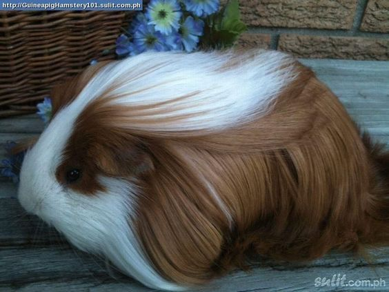 my cavy is very cute pet | Peruvian guinea pig | Long haired guinea pig