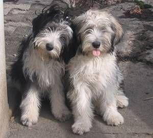 Mirriyuula Collies & Polish Lowland Sheepdogs