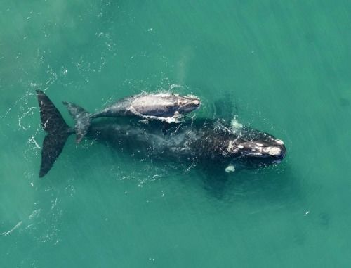 Algal Blooms Linked to Largest Die-Off of Great Whales Ever Recorded