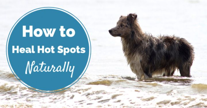 You can help your dog heal with one of these five natural remedies for dogs hot spots. Find out which remedy helps heal which skin infection best!