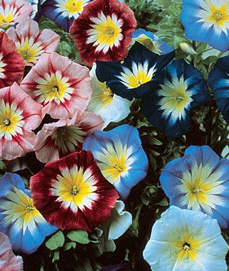 Convolvulus...seriously cute like a tiny morning glory and easy to grow from seed