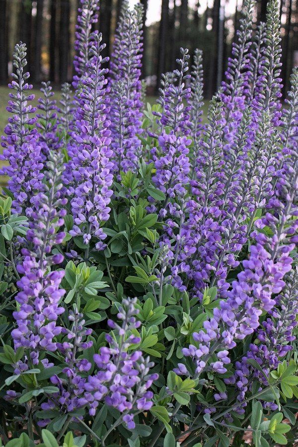 Baptisia 'Blue Towers' PP 27,088